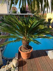 Palmfarn XXL zu verkaufen 2