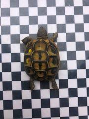 letzte Griechische Landschildkröte Thh reinrassig