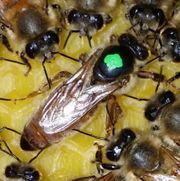 Buckfast Bienen Königinnen unbegattet ab