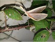 Stabschrecke rosa geflügelte Sipyloidea sipylus