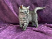 Kitten BKH SKH