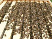 Wirtschaftsvölker aus Carnica Bienen Bienenvolk