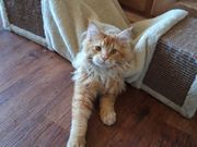 Maine Coon Kater Deckkater