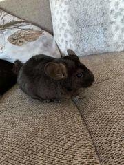Chinchilla weiblich schwarz
