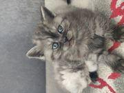 BKH Kitten in Juli Auszugsbereit