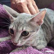 Unser zartes Katzenseelchen Ashley sucht