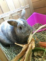Kaninchen männlich abzugeben