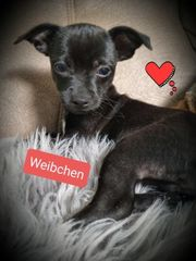 Letztes Chihuahuaweibchen