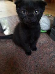 Scottish fold kitten Kätzchen katzenbaby