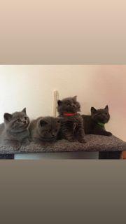 Britisch kurzhaar Blue Kitten