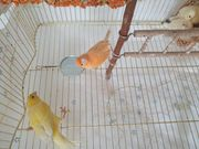 Kanarienvögel mit Käfig und Zubehör