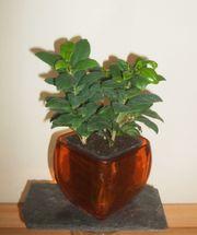 Ficus Benjamini Birkenfeige Kleinblättrig im