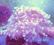 Meerwasser Steinkorallenableger Euphilia