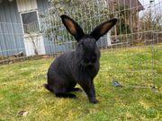 3 Kaninchen Rammler suchen schöne