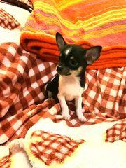 Sehr kleine typvolle Chihuahua Welpen
