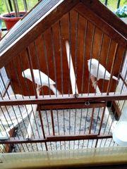 Suche rezessiv weiße Kanarienvogel mit
