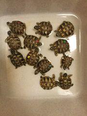 griechische Schildkröte auch Tausch gegen