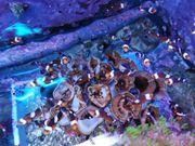 Clownfisch Amphiprion ocellaris orange Misbar