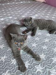 Schottisch Fold Kätzchen
