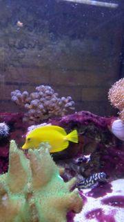 Zebrasoma flavescens Zitronenflossen-Doktorfisch Hawaii-Doktor