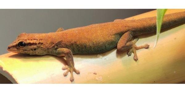 0 1 Lygodactylus Williamsi sicheres