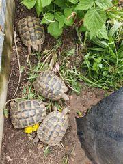 Weibl THB Schildkröte Weibchen Landschildkröte