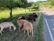 Verkaufe Schafe Lämmer und Mischlinge
