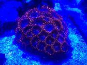 Korallenableger Zoanthus Utter Chaos orange