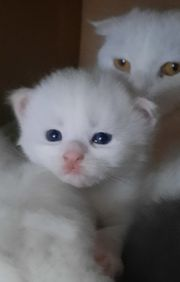 Maine Coon BKH Kitten