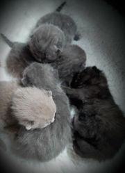 5x süße BKH Teddybärchen Kitten