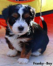 Havaneser In Tonisvorst Hunde Kaufen Verkaufen Auf Quoka De
