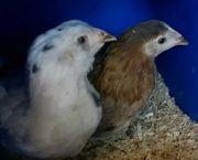 araucana Hühner abzugeben