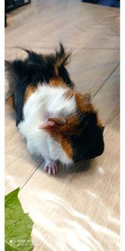 Meerschweinbabys 2 Monate alt Männchen