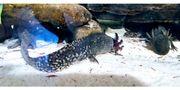 4 Axolotl mit 200 Liter
