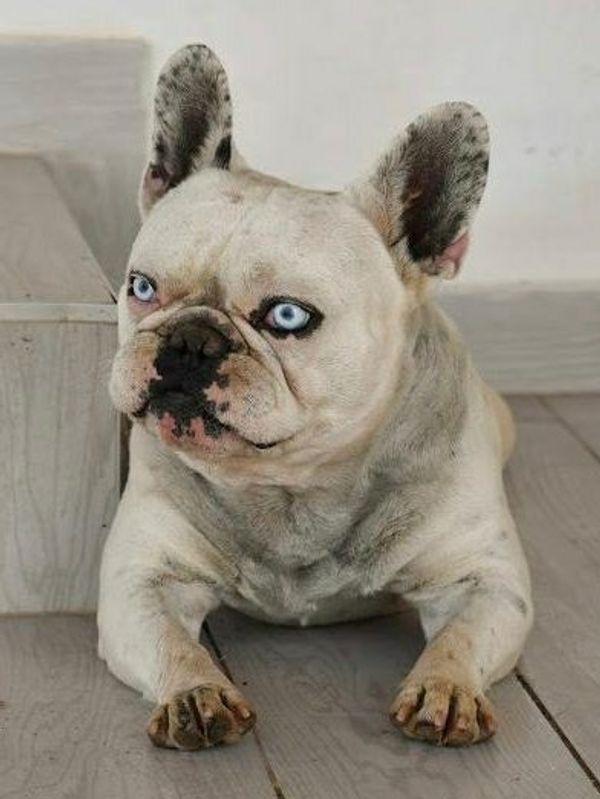NERON fr Bulldogge