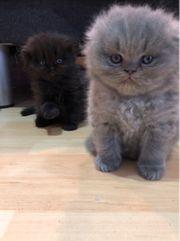 Scottish sibirisch Neva Masquerade Kitten