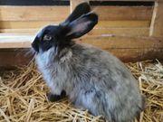 super zutrauliche Angora Kaninchen geimpft