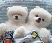 Wunderschöne weiße Teddy Bärchen suchen