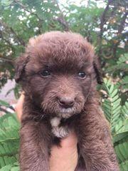 Bruno - Welpe aus dem Tierschutz -