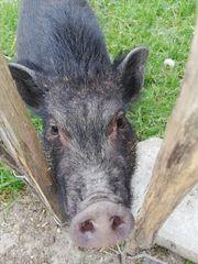 Minischwein Minipig Schwein