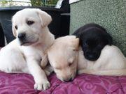 Reinrassige Labradorwelpen in den Farben