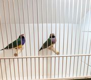 Gouldamandinen Paar