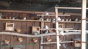 Jap Mövchen und Zebrafinken