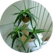 Aleo-Vera-Pflanzen im Topf