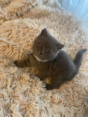 Reinrassige Kitten - Britisch Kurzhaar - Baby