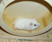Weißes Zwerghamster Weibchen Hamster