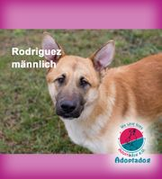 Rodriguez - ein schöner Malinois Mix