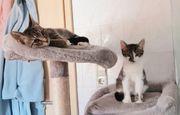 2 Kitten Katze Kater Tigerpaar