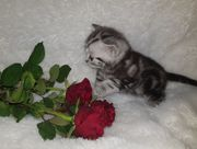 Super süße BKH Whiskas Kitten
