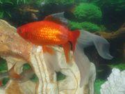 Verkaufe besondere Goldfische ca 18cm-